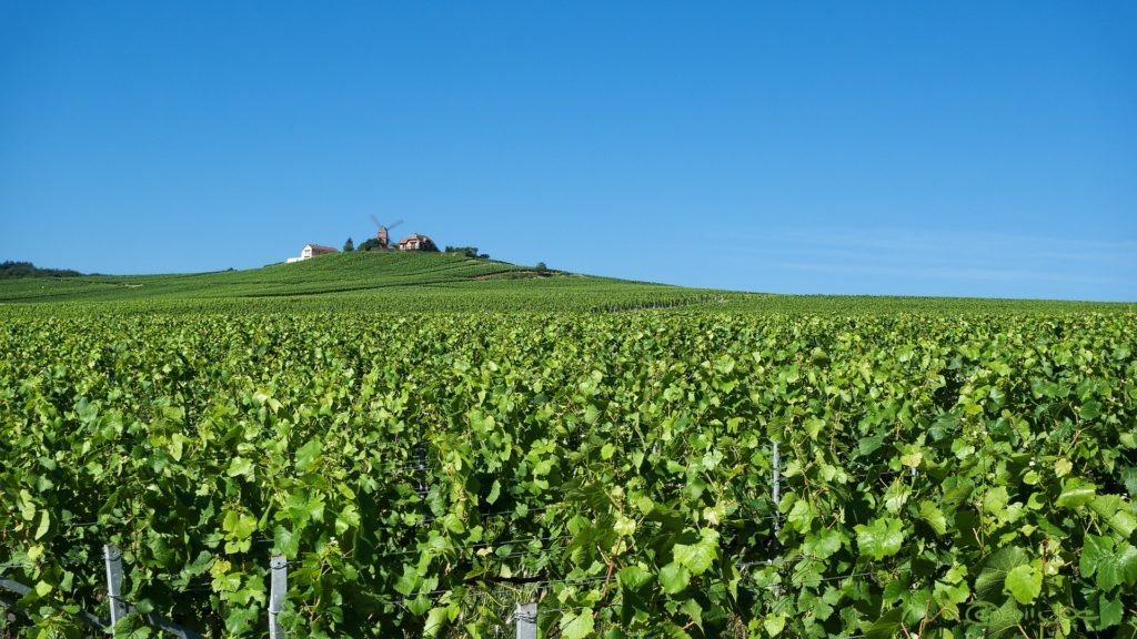 Vineyard in Champagne region