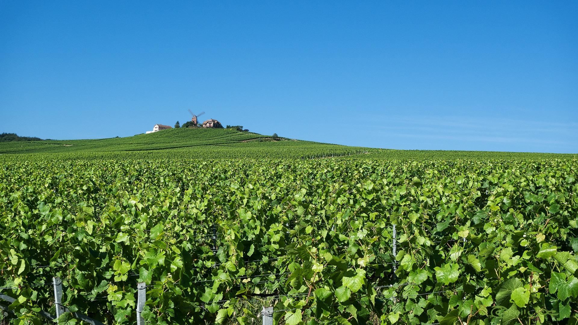 Vineyard in Champagne region